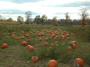 Picking Pumpkins in Waterdown